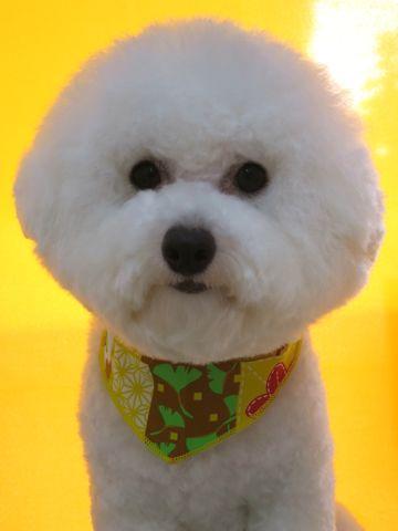 ビションフリーゼトリミング文京区フントヒュッテ駒込ビショントリミング東京ビションフリーゼカットスタイルモデル犬かわいいビションフリーゼ画像hundehutte_6.jpg