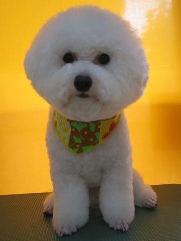 ビションフリーゼトリミング文京区フントヒュッテ駒込ビショントリミング東京ビションフリーゼカットスタイルモデル犬かわいいビションフリーゼ画像hundehutte_7.jpg
