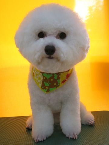 ビションフリーゼトリミング文京区フントヒュッテ駒込ビショントリミング東京ビションフリーゼカットスタイルモデル犬かわいいビションフリーゼ画像hundehutte_8.jpg