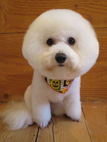 ビションフリーゼトリミング文京区フントヒュッテ駒込ビショントリミング東京ビションフリーゼカットスタイルモデル犬かわいいビションフリーゼ画像hundehutte_10.jpg