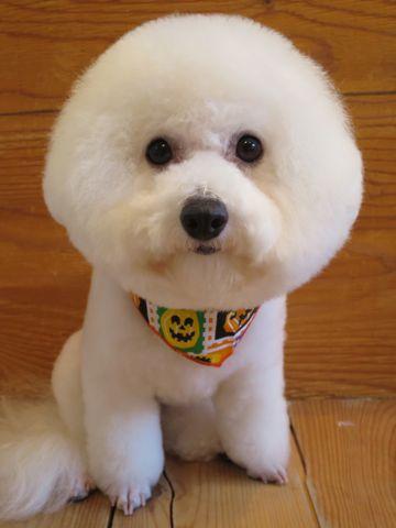 ビションフリーゼトリミング文京区フントヒュッテ駒込ビショントリミング東京ビションフリーゼカットスタイルモデル犬かわいいビションフリーゼ画像hundehutte_11.jpg