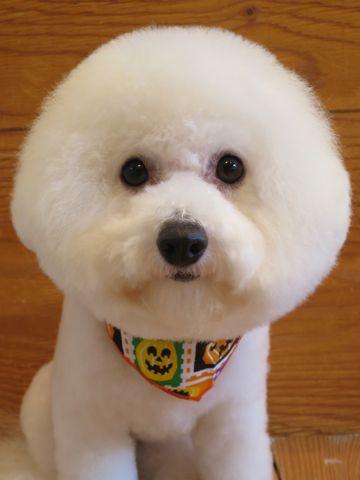ビションフリーゼトリミング文京区フントヒュッテ駒込ビショントリミング東京ビションフリーゼカットスタイルモデル犬かわいいビションフリーゼ画像hundehutte_12.jpg