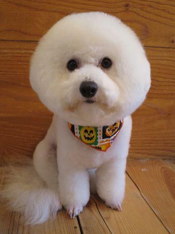 ビションフリーゼトリミング文京区フントヒュッテ駒込ビショントリミング東京ビションフリーゼカットスタイルモデル犬かわいいビションフリーゼ画像hundehutte_13.jpg