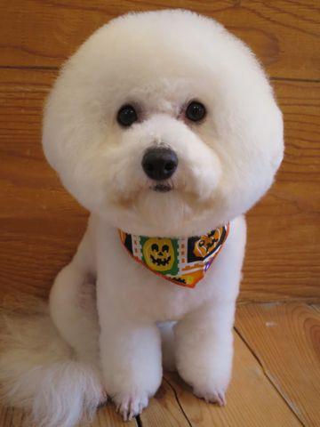 ビションフリーゼトリミング文京区フントヒュッテ駒込ビショントリミング東京ビションフリーゼカットスタイルモデル犬かわいいビションフリーゼ画像hundehutte_14.jpg