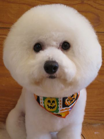 ビションフリーゼトリミング文京区フントヒュッテ駒込ビショントリミング東京ビションフリーゼカットスタイルモデル犬かわいいビションフリーゼ画像hundehutte_15.jpg
