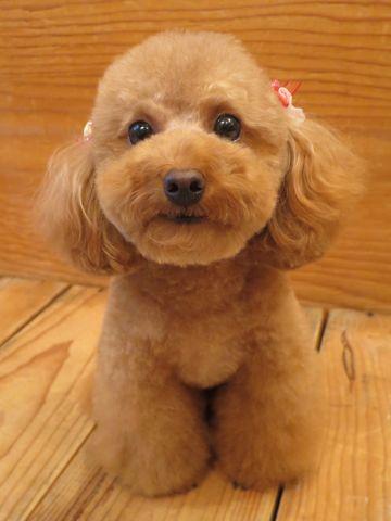 ビションフリーゼ子犬トリミングこいぬビションカット画像フントヒュッテ文京区トイプードル極小サイズティーカッププードルトイプートリミング東京_14.jpg