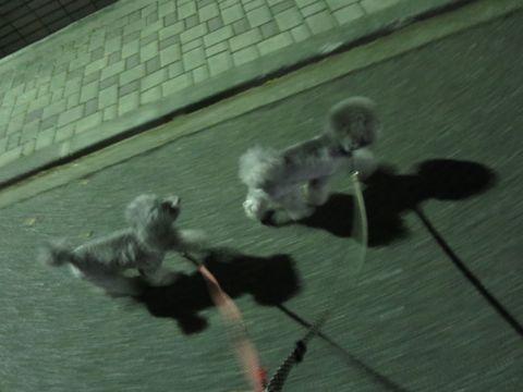 トイ・プードルペットホテル様子おさんぽ犬おあずかり文京区フントヒュッテ東京トイプードルトリミング画像都内ペットホテル駒込トイプーカットシルバー_14.jpg