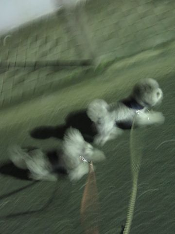 トイ・プードルペットホテル様子おさんぽ犬おあずかり文京区フントヒュッテ東京トイプードルトリミング画像都内ペットホテル駒込トイプーカットシルバー_16.jpg