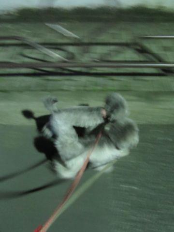 トイ・プードルペットホテル様子おさんぽ犬おあずかり文京区フントヒュッテ東京トイプードルトリミング画像都内ペットホテル駒込トイプーカットシルバー_17.jpg