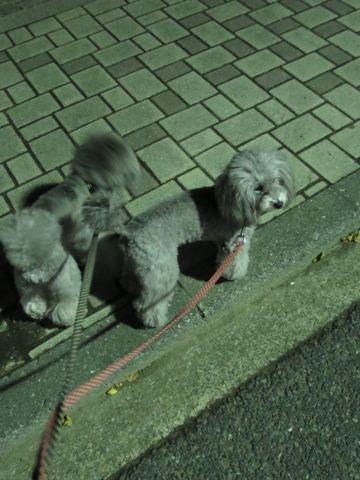 トイ・プードルペットホテル様子おさんぽ犬おあずかり文京区フントヒュッテ東京トイプードルトリミング画像都内ペットホテル駒込トイプーカットシルバー_18.jpg