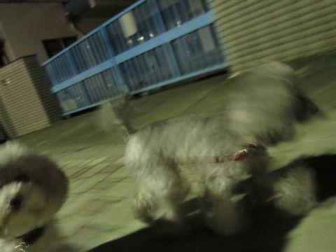 トイ・プードルペットホテル様子おさんぽ犬おあずかり文京区フントヒュッテ東京トイプードルトリミング画像都内ペットホテル駒込トイプーカットシルバー_19.jpg