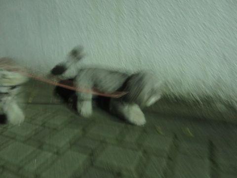 トイ・プードルペットホテル様子おさんぽ犬おあずかり文京区フントヒュッテ東京トイプードルトリミング画像都内ペットホテル駒込トイプーカットシルバー_20.jpg