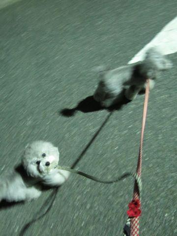 トイ・プードルペットホテル様子おさんぽ犬おあずかり文京区フントヒュッテ東京トイプードルトリミング画像都内ペットホテル駒込トイプーカットシルバー_29.jpg
