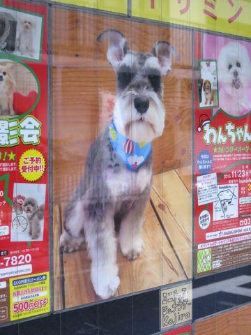 トリミングカットスタイル画像フントヒュッテ文京区犬カットモデル東京トイプードルカットスタイルビションフリーゼカット画像トイプーのビションカット駒込_16.jpg