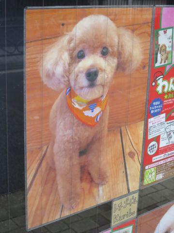トリミングカットスタイル画像フントヒュッテ文京区犬カットモデル東京トイプードルカットスタイルビションフリーゼカット画像トイプーのビションカット駒込_17.jpg