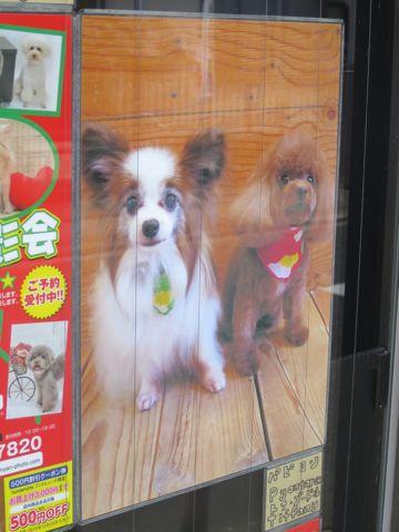 トリミングカットスタイル画像フントヒュッテ文京区犬カットモデル東京トイプードルカットスタイルビションフリーゼカット画像トイプーのビションカット駒込_18.jpg