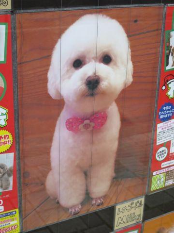 トリミングカットスタイル画像フントヒュッテ文京区犬カットモデル東京トイプードルカットスタイルビションフリーゼカット画像トイプーのビションカット駒込_19.jpg