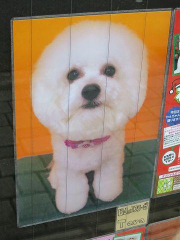 トリミングカットスタイル画像フントヒュッテ文京区犬カットモデル東京トイプードルカットスタイルビションフリーゼカット画像トイプーのビションカット駒込_20.jpg