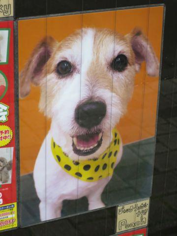 トリミングカットスタイル画像フントヒュッテ文京区犬カットモデル東京トイプードルカットスタイルビションフリーゼカット画像トイプーのビションカット駒込_21.jpg