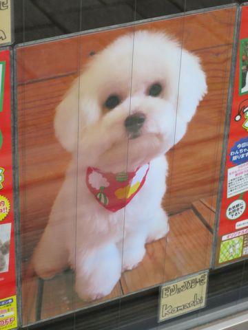 トリミングカットスタイル画像フントヒュッテ文京区犬カットモデル東京トイプードルカットスタイルビションフリーゼカット画像トイプーのビションカット駒込_22.jpg