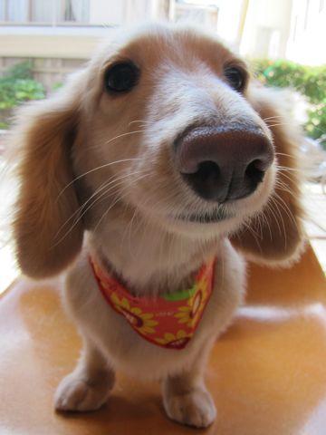 ダックストリミング東京ダックスフントミニチュアトリミング料金フントヒュッテ駒込かわいいダックス画像ダックスシャンプー+部分カット文京区犬デンタルケア_4.jpg