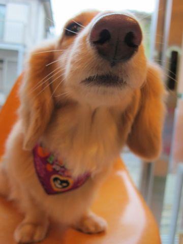 ダックストリミング東京ダックスフントミニチュアトリミング料金フントヒュッテ駒込かわいいダックス画像ダックスシャンプー+部分カット文京区犬デンタルケア_31.jpg