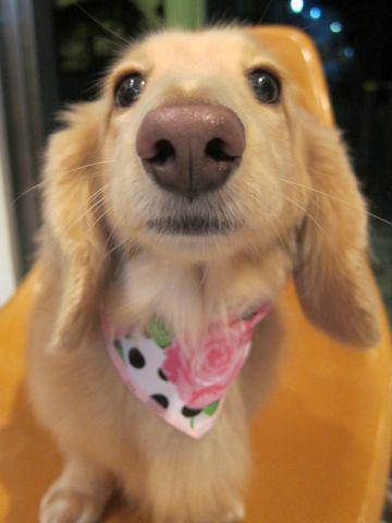 ダックストリミング東京ダックスフントミニチュアトリミング料金フントヒュッテ駒込かわいいダックス画像ダックスシャンプー+部分カット文京区犬デンタルケア_33.jpg