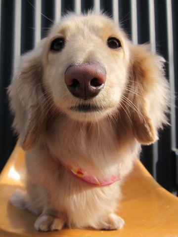 ダックストリミング東京ダックスフントミニチュアトリミング料金フントヒュッテ駒込かわいいダックス画像ダックスシャンプー+部分カット文京区犬デンタルケア_47.jpg