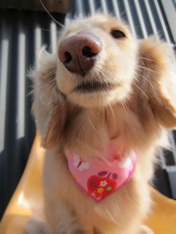 ダックストリミング東京ダックスフントミニチュアトリミング料金フントヒュッテ駒込かわいいダックス画像ダックスシャンプー+部分カット文京区犬デンタルケア_48.jpg