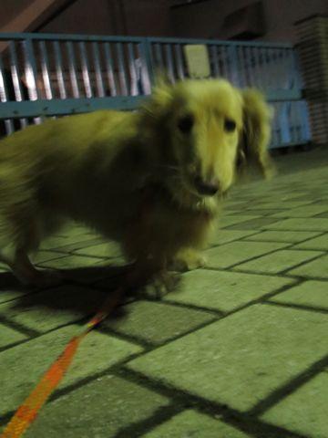 ダックストリミング東京ダックスフントミニチュアトリミング料金フントヒュッテ駒込かわいいダックス画像ダックスシャンプー+部分カット文京区犬デンタルケア_129.jpg