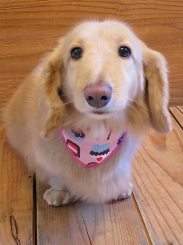 ダックストリミング東京ダックスフントミニチュアトリミング料金フントヒュッテ駒込かわいいダックス画像ダックスシャンプー+部分カット文京区犬デンタルケア_142.jpg
