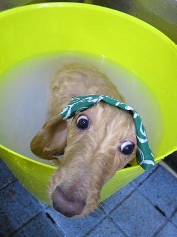 ダックストリミング東京ダックスフントミニチュアトリミング料金フントヒュッテ駒込かわいいダックス画像ダックスシャンプー+部分カット文京区犬デンタルケア_168.jpg