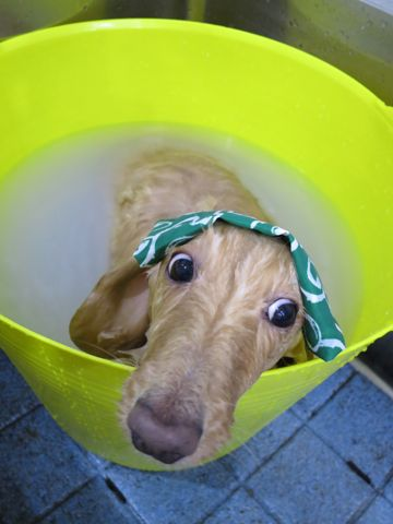 ダックストリミング東京ダックスフントミニチュアトリミング料金フントヒュッテ駒込かわいいダックス画像ダックスシャンプー+部分カット文京区犬デンタルケア_169.jpg
