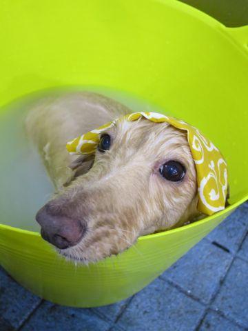ダックストリミング東京ダックスフントミニチュアトリミング料金フントヒュッテ駒込かわいいダックス画像ダックスシャンプー+部分カット文京区犬デンタルケア_176.jpg