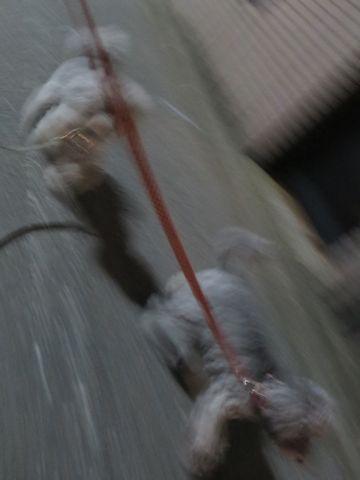 トイ・プードルペットホテル都内フントヒュッテ駒込犬おあずかり様子おさんぽ文京区hundehutte東京ペットホテルトイプードルシルバー画像ドッグホテル日記_40.jpg
