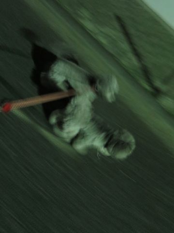 トイ・プードルペットホテル都内フントヒュッテ駒込犬おあずかり様子おさんぽ文京区hundehutte東京ペットホテルトイプードルシルバー画像ドッグホテル日記_61.jpg