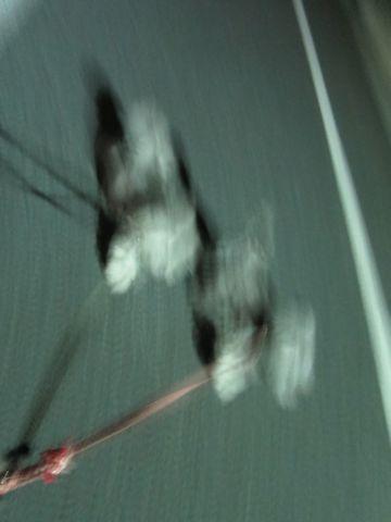 トイ・プードルペットホテル都内フントヒュッテ駒込犬おあずかり様子おさんぽ文京区hundehutte東京ペットホテルトイプードルシルバー画像ドッグホテル日記_65.jpg