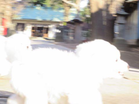 ビションフリーゼフントヒュッテ文京区駒込ビション子犬こいぬ赤ちゃん出産情報ビション父チャンピオン血統毛量オス子犬おんなのこ東京ビション画像性格かわいい_620.jpg