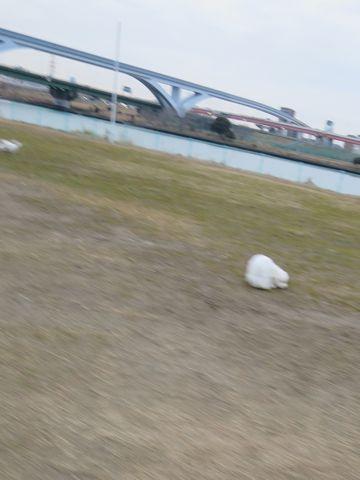 ビションフリーゼフントヒュッテ文京区駒込ビション子犬こいぬ赤ちゃん出産情報ビション父チャンピオン血統毛量オス子犬おんなのこ東京ビション画像性格かわいい_796.jpg