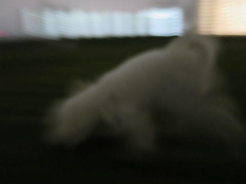ビションフリーゼフントヒュッテ文京区駒込ビション子犬こいぬ赤ちゃん出産情報ビション父チャンピオン血統毛量オス子犬おんなのこ東京ビション画像性格かわいい_1049.jpg