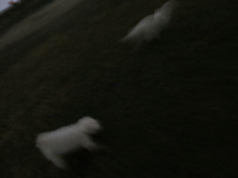 ビションフリーゼフントヒュッテ文京区駒込ビション子犬こいぬ赤ちゃん出産情報ビション父チャンピオン血統毛量オス子犬おんなのこ東京ビション画像性格かわいい_1083.jpg