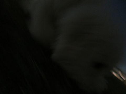 ビションフリーゼフントヒュッテ文京区駒込ビション子犬こいぬ赤ちゃん出産情報ビション父チャンピオン血統毛量オス子犬おんなのこ東京ビション画像性格かわいい_1137.jpg