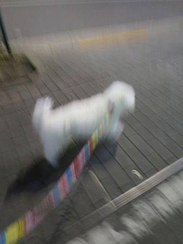 ビションフリーゼペットホテル都内フントヒュッテ駒込犬おあずかり様子おさんぽ文京区hundehutte東京ビションフリーゼ犬ホテル料金ペットホテルマナーベルト着用_40.jpg