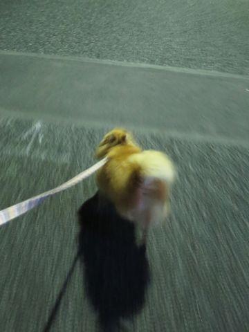 ポメラニアンペットホテル都内フントヒュッテ駒込犬おあずかり様子おさんぽ文京区hundehutte東京ドッグホテルポメラニアン犬ホテル料金ペットホテル様子画像_5.jpg