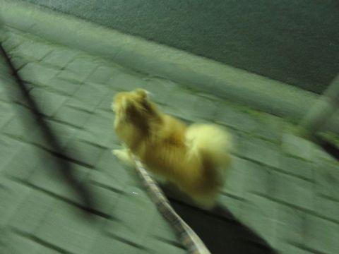 ポメラニアンペットホテル都内フントヒュッテ駒込犬おあずかり様子おさんぽ文京区hundehutte東京ドッグホテルポメラニアン犬ホテル料金ペットホテル様子画像_7.jpg