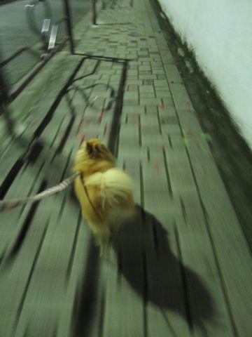 ポメラニアンペットホテル都内フントヒュッテ駒込犬おあずかり様子おさんぽ文京区hundehutte東京ドッグホテルポメラニアン犬ホテル料金ペットホテル様子画像_11.jpg