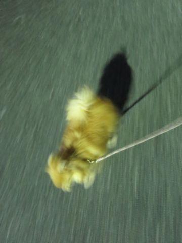ポメラニアンペットホテル都内フントヒュッテ駒込犬おあずかり様子おさんぽ文京区hundehutte東京ドッグホテルポメラニアン犬ホテル料金ペットホテル様子画像_24.jpg