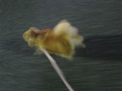 ポメラニアンペットホテル都内フントヒュッテ駒込犬おあずかり様子おさんぽ文京区hundehutte東京ドッグホテルポメラニアン犬ホテル料金ペットホテル様子画像_37.jpg
