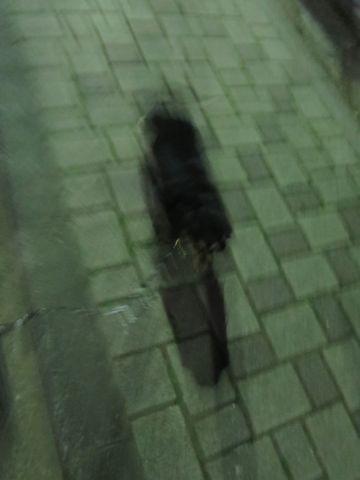 ダックスペットホテル様子おさんぽ犬おあずかり文京区フントヒュッテ東京ダックストリミング画像都内ペットホテル駒込カニヘンダックスカニンヘンダックス_4.jpg