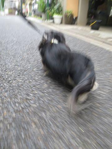 ダックスペットホテル様子おさんぽ犬おあずかり文京区フントヒュッテ東京ダックストリミング画像都内ペットホテル駒込カニヘンダックスカニンヘンダックス_30.jpg
